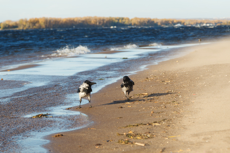 Two grey crows, Corvus Cornix, walk along the river Bank on a Sunny day with a strong wind.