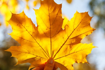 Hand holding a yellow maple leaf close-up on a blurred background, autumn Sunny day. A symbol of autumn. 写真素材