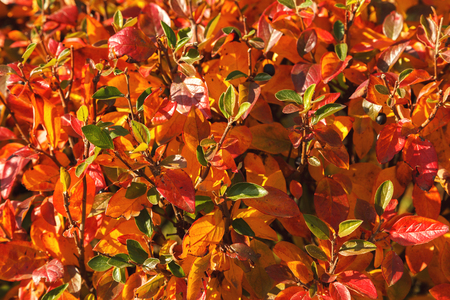 Autumn bush with blueberry leaves scene. Red autumn leaves and black berries close up. Autumn leaves in autumn forest park.