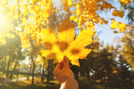 Hand holding a yellow maple leaf close-up on a blurred background of trees on a Sunny autumn day. A symbol of autumn. 写真素材