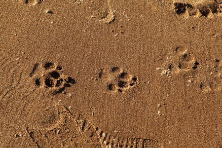 Track imprints of dog paws in wet sand on beach, texture background.