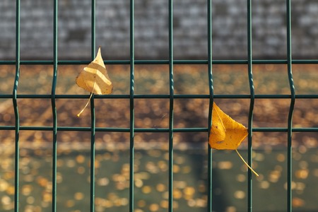 Yellow leaves on a grid of green fence on a blurred background. Abstract autumn background.