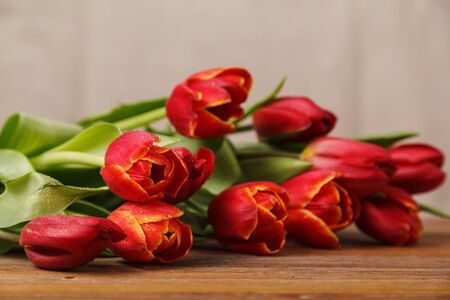 Flowers of spring tulips in the dew, on the wooden boards of the table. Red tulips on a beige background. Greeting card for mother's Day, Easter