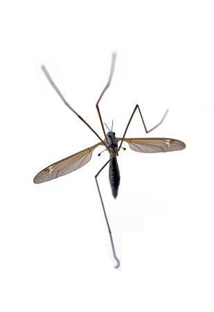 albopictus: Tiger mosquito
