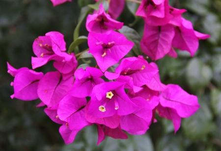 Fuchsia Bougainvillea Banco de Imagens