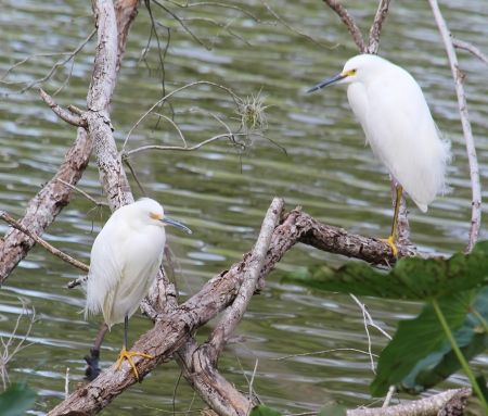 and egrets: Little Snowy Egrets Stock Photo