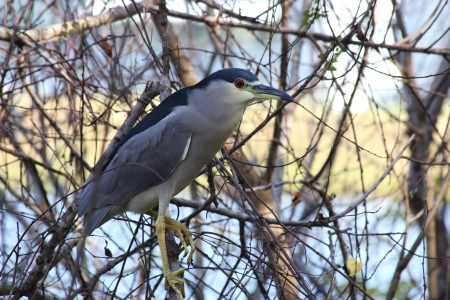 gray herons: Heron in Tree