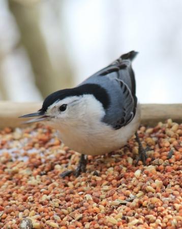 feeder: Chic-a-dee in Feeder