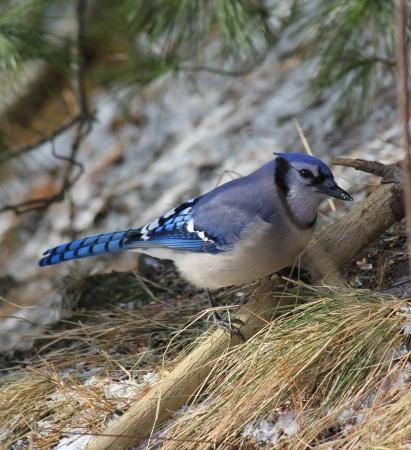 Blue Jay in Winter photo