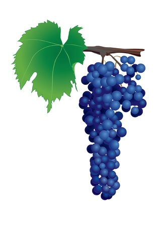 tuscany vineyard: Cluster of blue wine grapes on white background