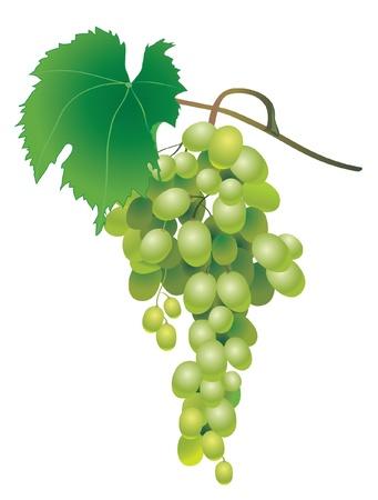 흰색 배경에 녹색 와인 포도의 클러스터 벡터 (일러스트)