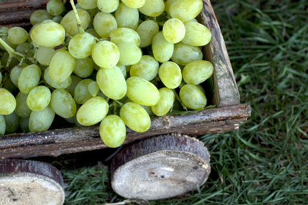 Big clusters of ripe white grapes in a wooden cart Banco de Imagens