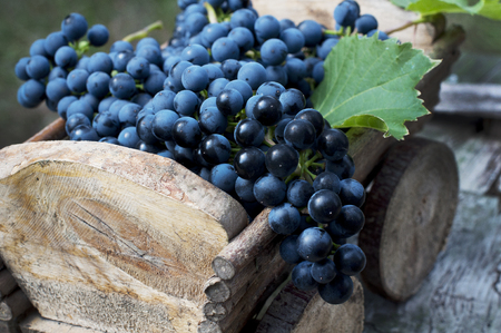 Big clusters of ripe blue grapes in a wooden box Banco de Imagens