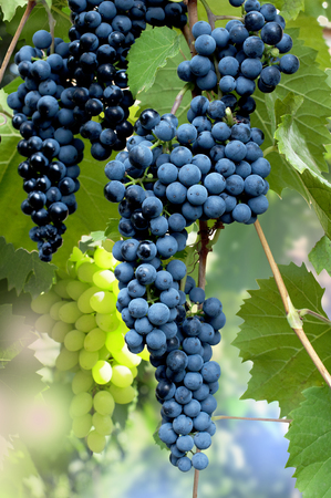 Clusters of blue ripe grapes in a garden Banco de Imagens