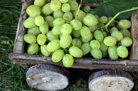 Big clusters of ripe green grapes in a wooden cart Banco de Imagens