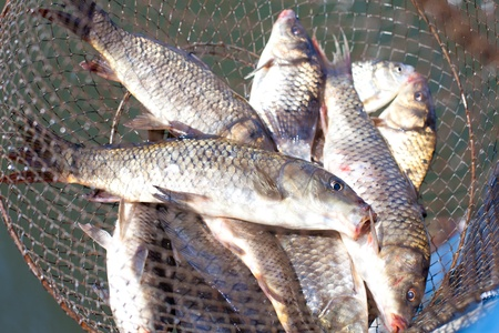 fresh caught fish in cages in the sun shimmering scales. Carps photo