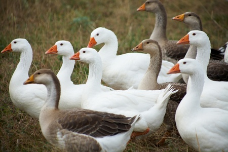gaggle on a grass. Outdoors photo