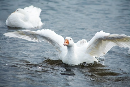 flying geese: goose in water. flying up  Stock Photo