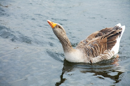 hiss: Big grey goose in water. Attack and hiss. Stock Photo