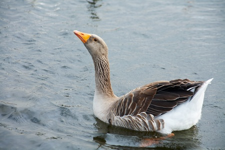 Big grey goose in water.  photo