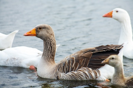 gaggle in water. outdoors photo