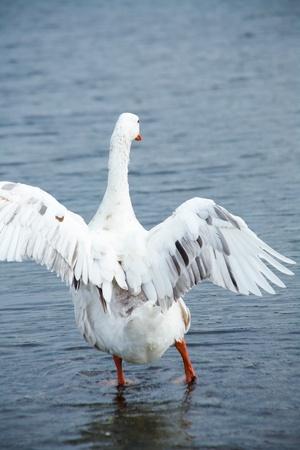 ganso en el agua. volando Foto de archivo - 10587250