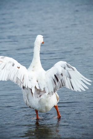 goose in water. flying up  photo