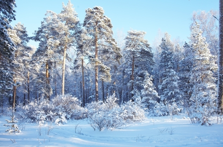 winter forest: cold day in the snowy winter forest Stock Photo