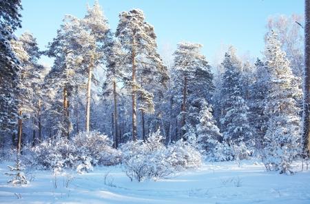 taiga: froide journ�e d'hiver dans la for�t enneig�e Banque d'images