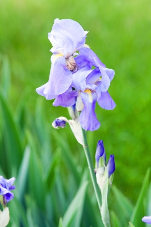 Beautiful purple iris on a background of green grass photo