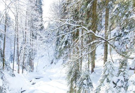 Beautiful winter landscape of wild forest with snow covered trees