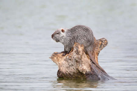 photograph of a muskrat on a lake in the wild.