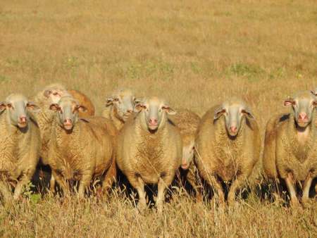 portrait of a flock of sheep in the pasture