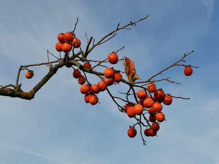 Beautiful branch with fruits of red persimmon on the background of the sky