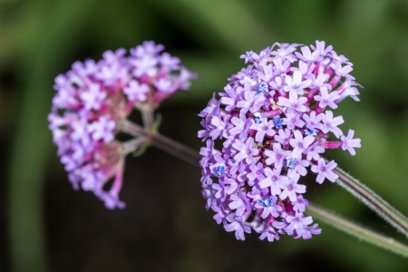 flower bunch: Macro photography of violet Verbena Vervain flower bunch in summer time