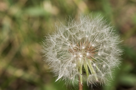 Macro photography of dandelion losing its seeds to wind photo