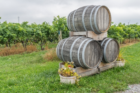 grape field: Wooden wine barrels in a grape field stacked together