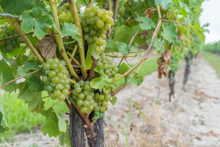 grape field: Grape field during harvest season with grape vines Stock Photo