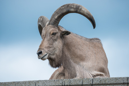 Mountain goat resting on a stone hill