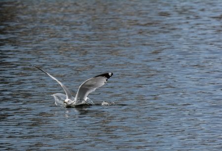 Instant of a flying seagull landing in water