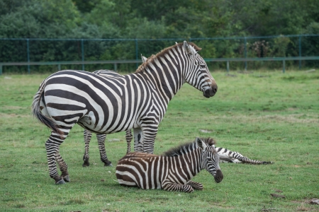 Zebras on a grass field in a wild life reserve zoo