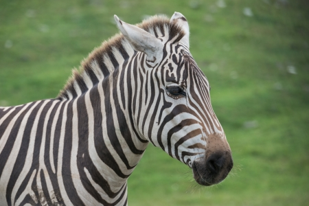 Close up of zebras on a grass field in a wild life reserve zoo