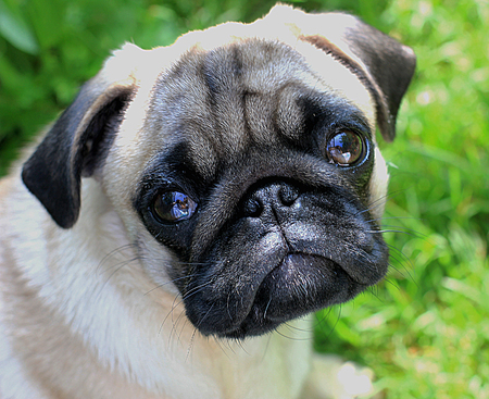 Sad pug with big eyes on the green grass