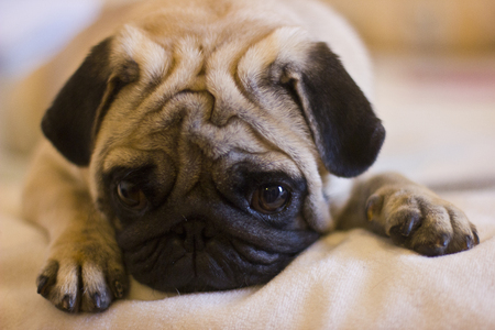 Sad pug lying on the bed Stock Photo