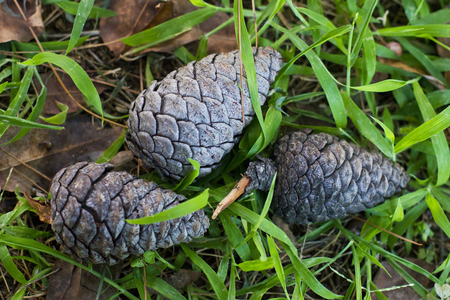Three pine cone on the green grass