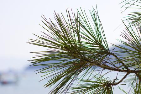 Pine tree near by sea