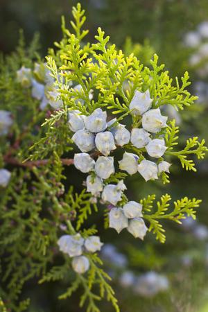 enebro: Arbusto de enebro verde