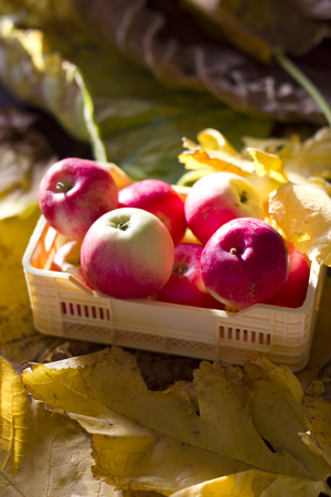 Red and yellow autumn apples in a plastic box