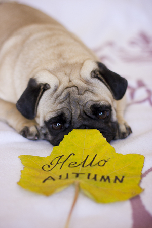 Sad pug looking to the autumn yellow leaf Stock Photo