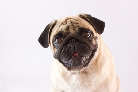 Pug van de zittingshond met de grote geïsoleerde ogen Stockfoto